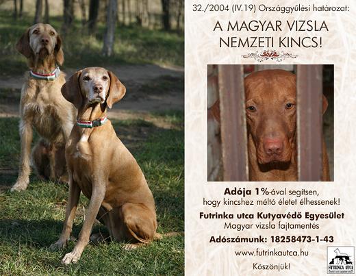 magyar-vizsla-kutyak