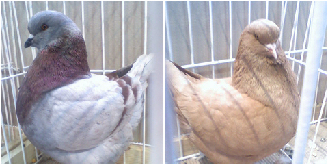 galamb, szép, madár