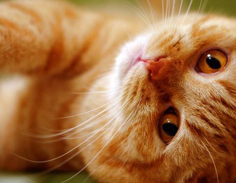 egészséges, macska, háziállat