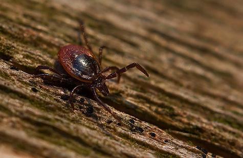 Kivédhető a Lyme-kór?