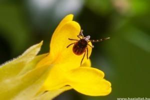 Lyme-kór: hogyan lehet megelőzni?