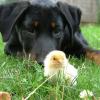 A csibe és a kutyus lett a februári fotojáték nyertes képe!