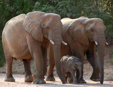 elefánt, elefántcsont, bébi
