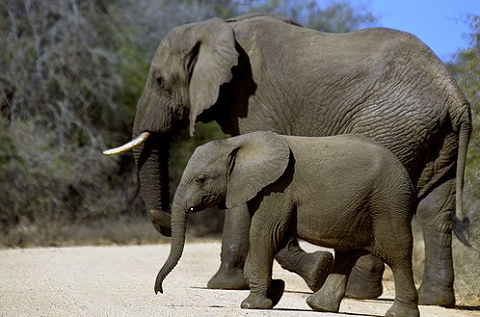 elefánt, elefántbébi, család