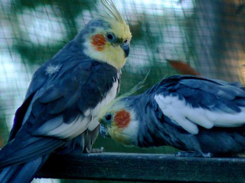 díszmadár, papagáj, kalitka