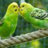 Kalitka vagy volier legyen a madár otthona?