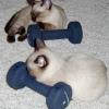 Macska súlyemelő-verseny japán módra