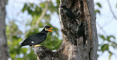 hangutánzó, beszélő, madár