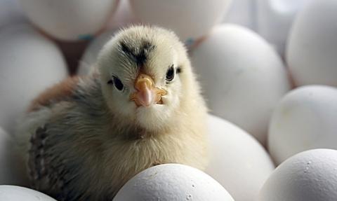 hús, tojás, tyúk