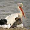 Ismét előkerült egy borzas pelikán