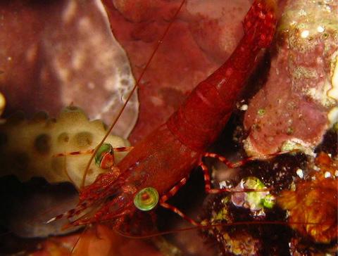 Táncológarnéla: bizarr állat az akváriumban