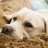 Mit kell tudnod a kutya csípőízületi diszpláziájáról?