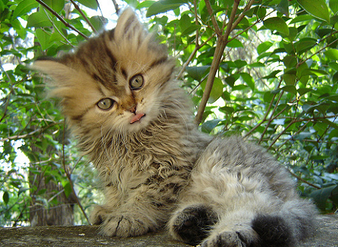 macska, egészség, cica