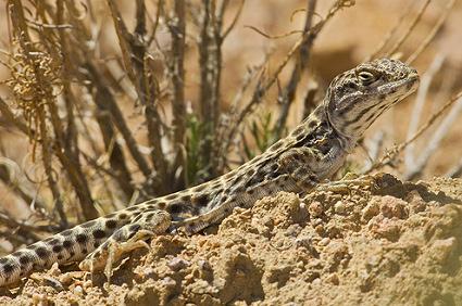 Hogyan tarts leopárd leguánt?