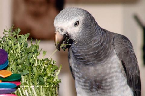 csíra, csíráztatás, papagáj