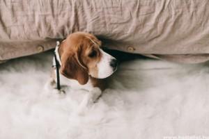 A kullancs okozta babéziózis tünetei kutyáknál