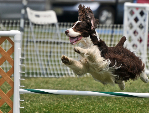 kutyás, sport, agility