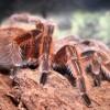 Chilei rózsaszín tarantula, a kezdők pókja