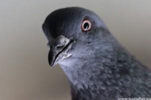 Városi galamb: utálatos repülő patkány, vagy aranyos tubi-tubi?