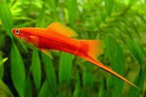 Klausztrofóbiás és konyhamalac a szifó (mexikói kardfarkú hal)?