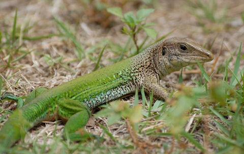Zöld ameiva: az őserdei futógyík