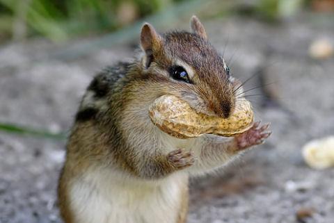 csíkosmókus, mogyoró, mókus