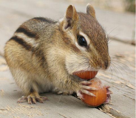 csíkosmókus, mókus, háziállat