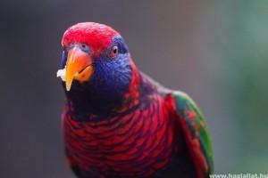 Díszmadarak etetése: mit és hogyan adjunk a papagájoknak?