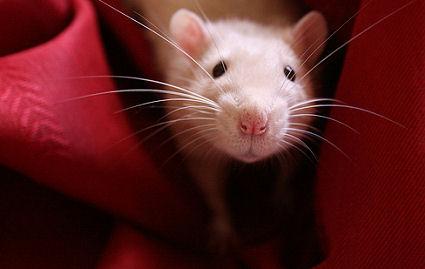 Értsd meg a patkányod!