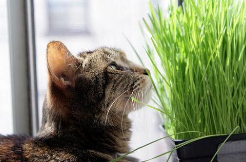 macska, fű, legel