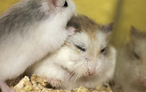 Kannibál kisállatok: hörcsög, patkány, háziegér