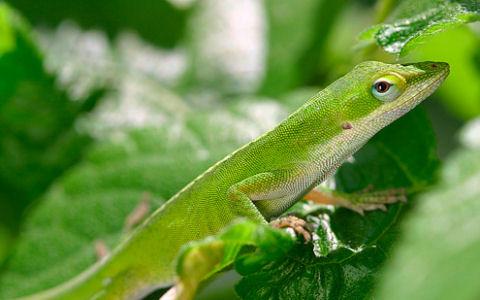 zöld anolisz, gyík