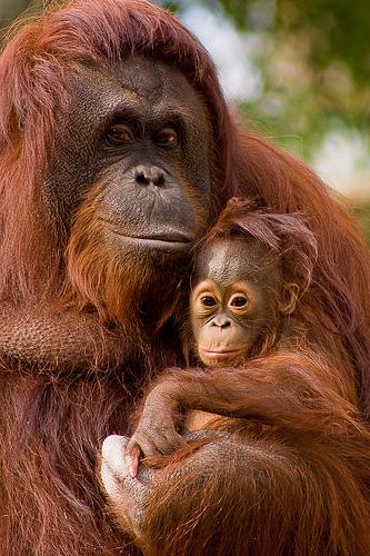 Szumátrai orángután