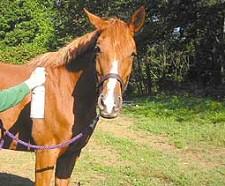 Hogyan óvjuk lovunkat a legyektől?