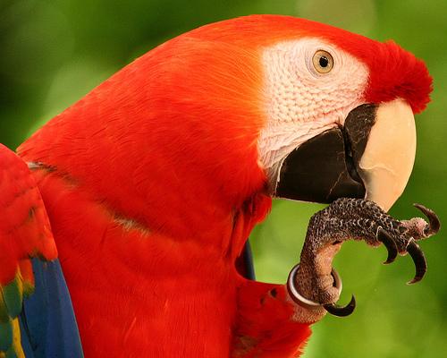 madár, papagáj, kalitka