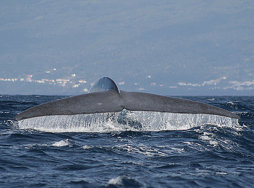legnagyobb, emlősállat, kékbálna