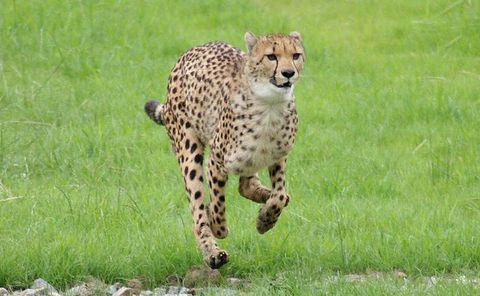 leggyorsabb, emlősállat, gepárd
