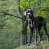 Német dog: a szelíd óriás