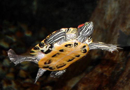 teknős, ékszerteknős, víz
