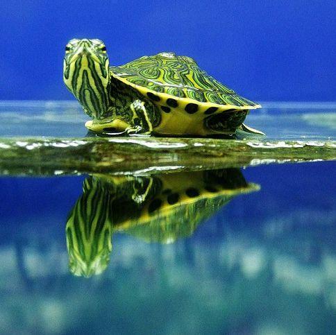 teknős, ékszerteknős, akvárium