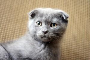 Kiállításon: Fábián Zsuzsa, skót lógófülű macskatenyésztő