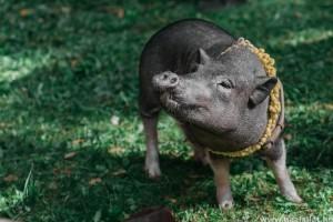 Vietnámi csüngőhasú malac: hogyan kell tartani, etetni?