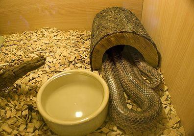 kobra, kígyó, hüllő