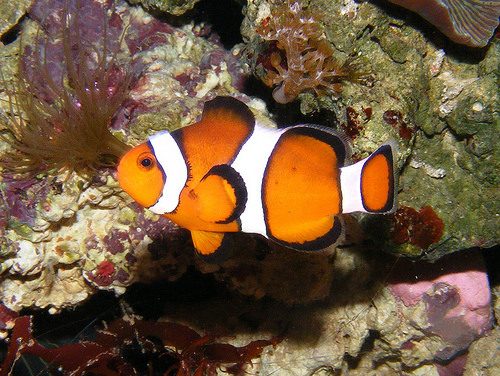 A bohóchal tengeri rózsákkal barátkozik