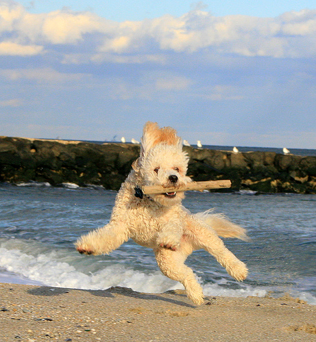 kutya, nevelés, falkavezér