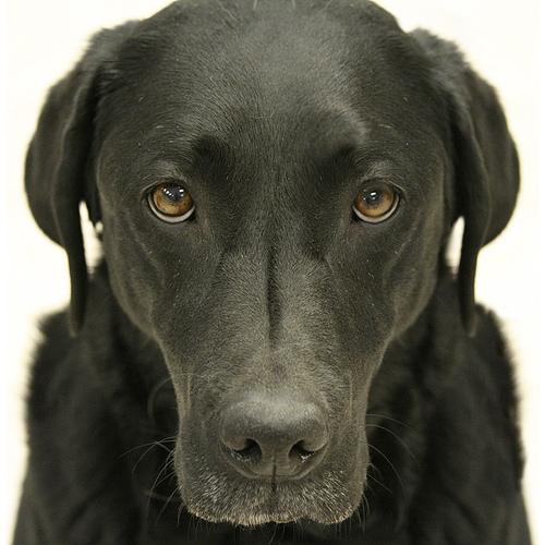 kutya, nevelés, rangsor