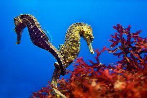 Csikóhal: a tengerek kaméleonja
