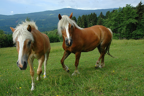 Haflingi: nem fogod összetéveszteni más lófajtákkal!