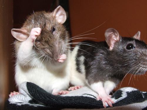 patkány, kisállat, háziállat