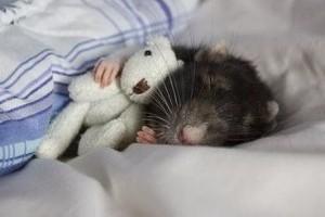 Patkány, mint háziállat?
